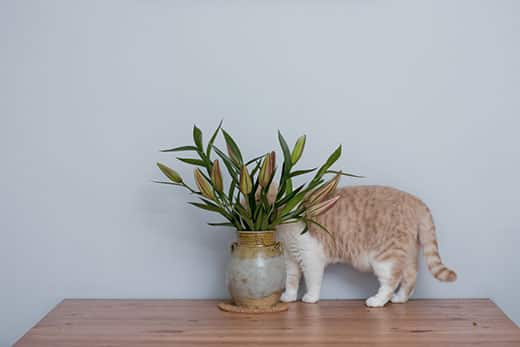British short hair cat hiding behind pot of lily flowers