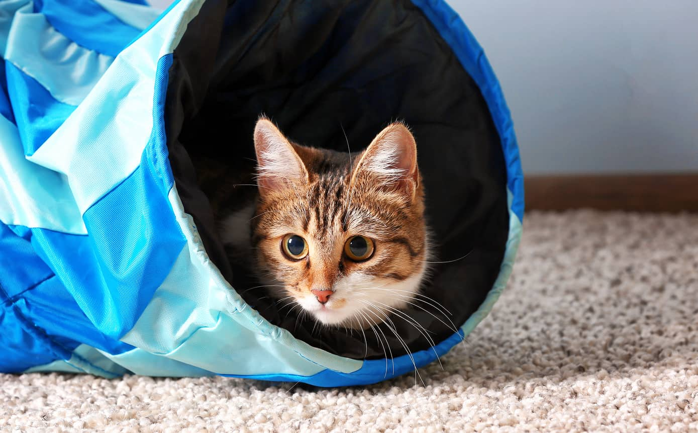 Cat peaking out of a blue cat tunnel.