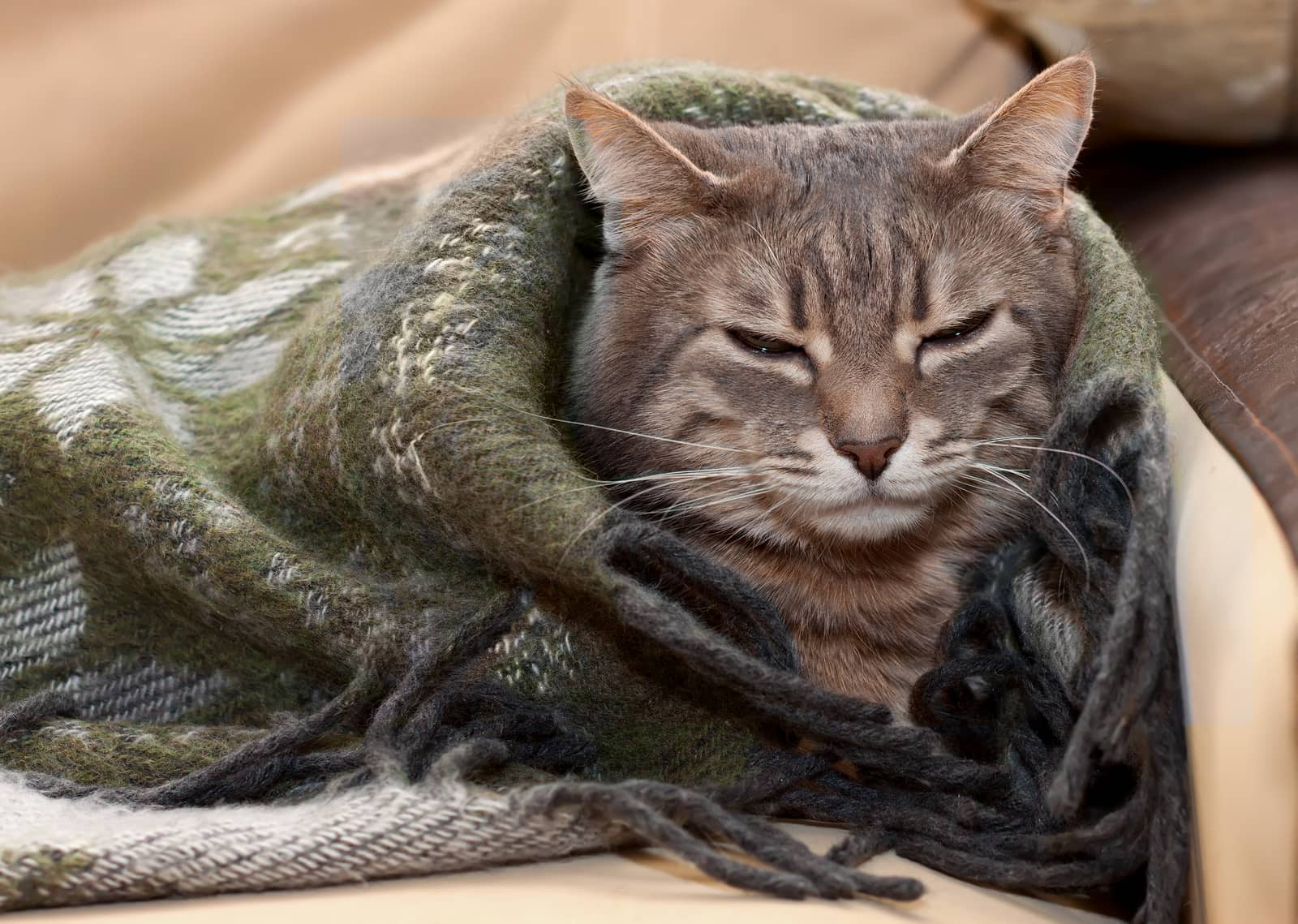 Gray tabby cat resting in a blanket