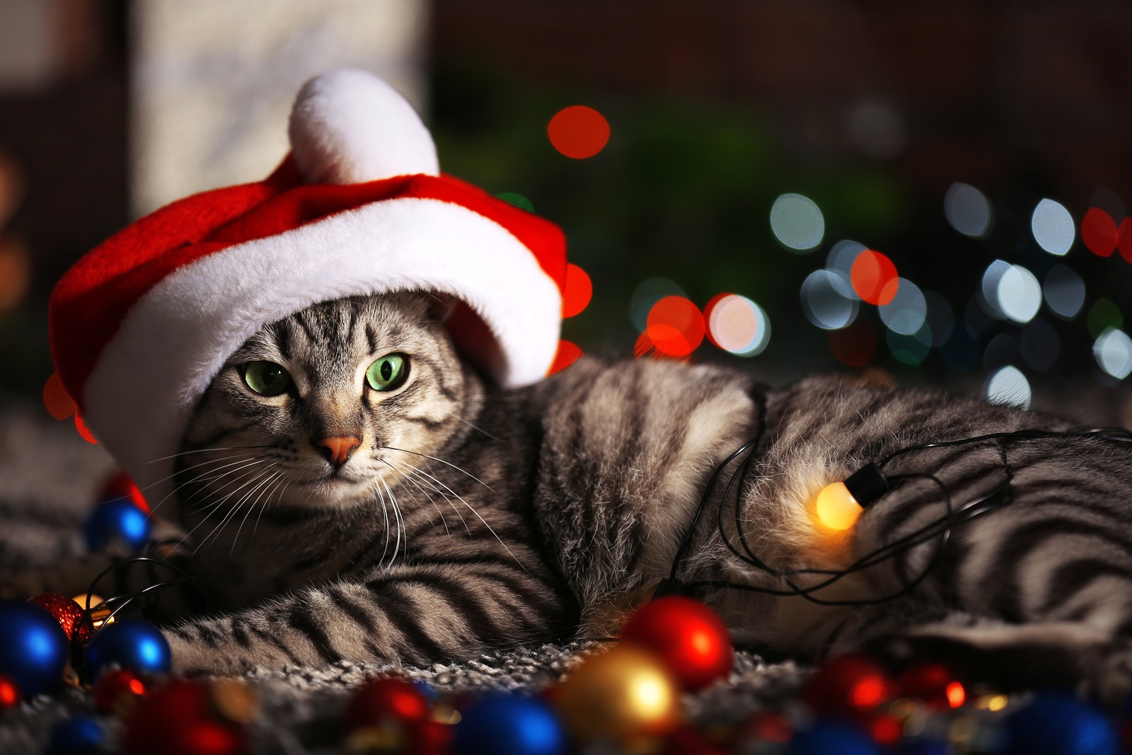 Gray and black striped tabby with Santa hat on lies in middle of Christmas lights.