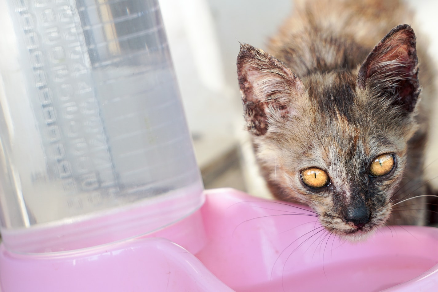Spotted cat drinking from a pink water bowl