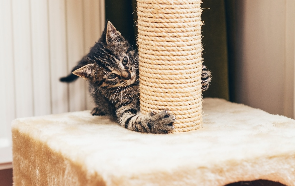 Gray tabby kitten claws at the base of a cat scratch post.