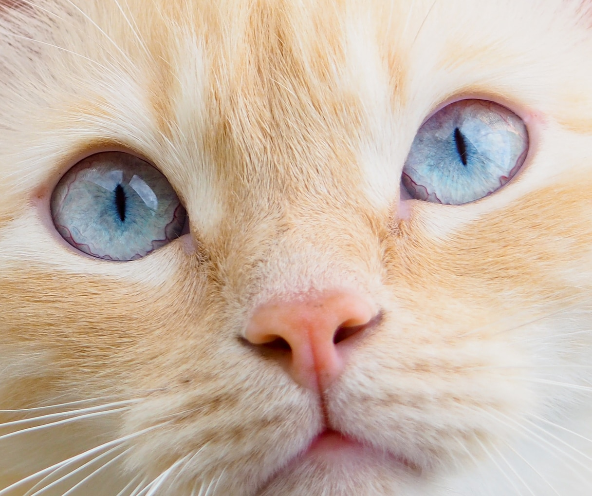 Close-up of a ginger cat with big blue eyes.