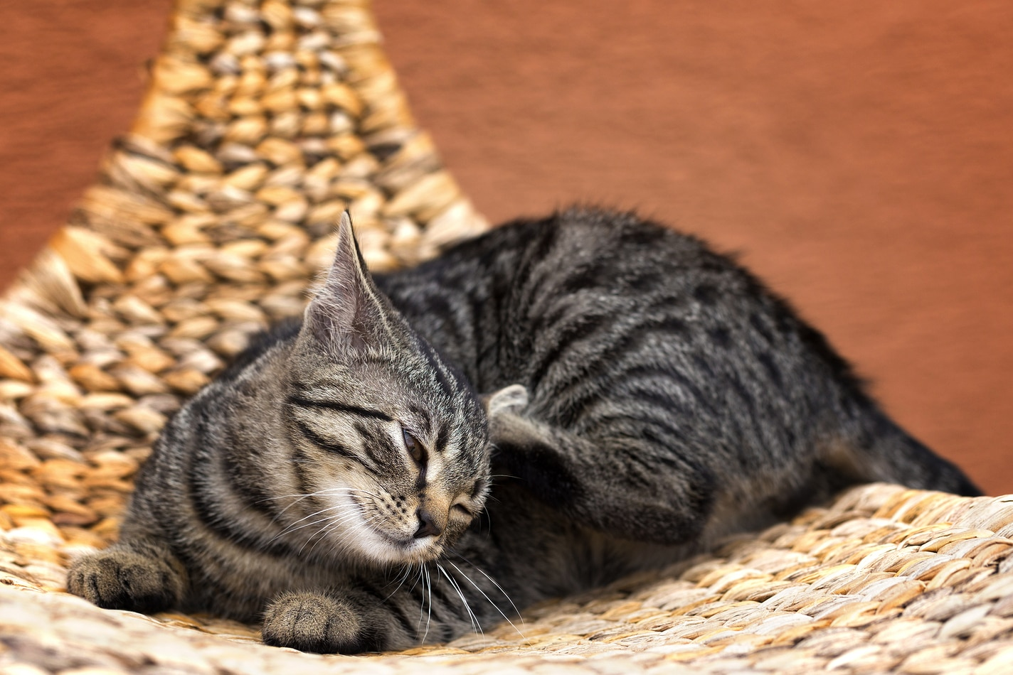 Striped gray cat scratching cat on a wicker chair in garden