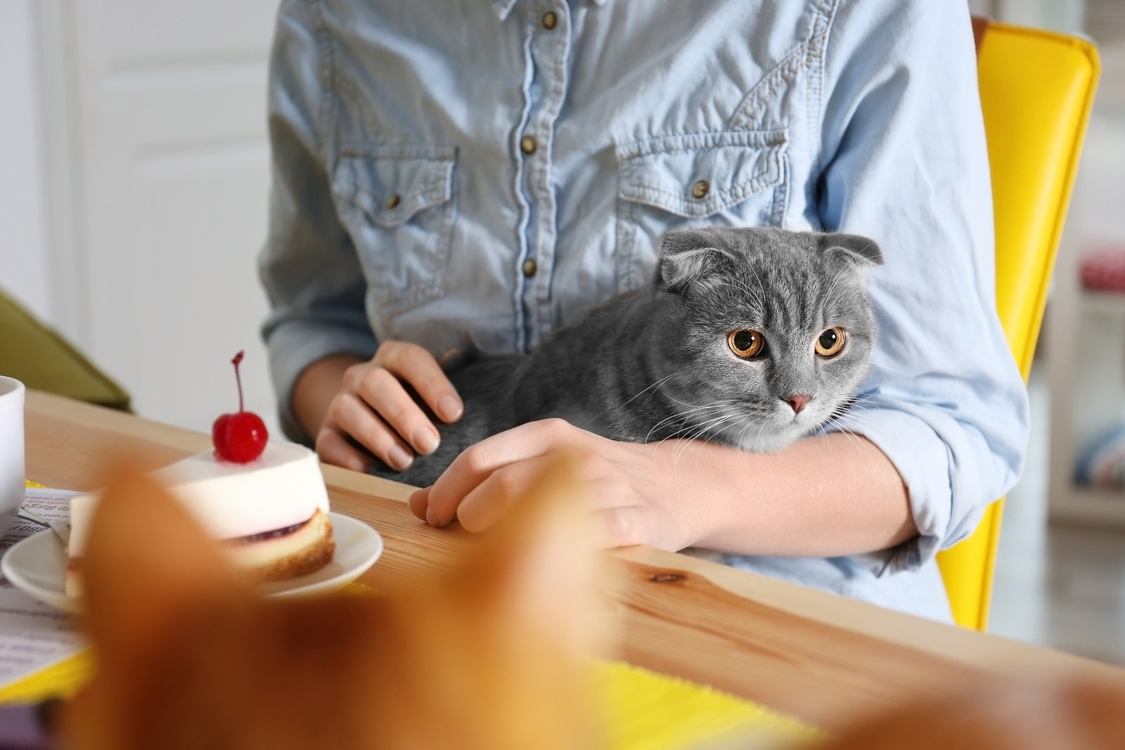 Gray cat sitting in woman's lap in a blue denim shirt sitting at a table with cheesecake on it.