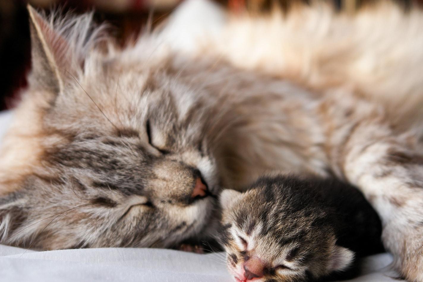 Weekly Kitten Development Timeline Hill S Pet