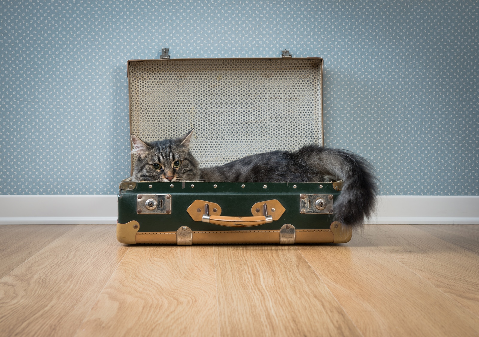 Long-haired gray cat in an open vintage green suitcase on hardwood floor against retro wallpaper.
