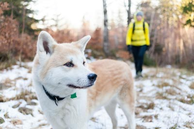 Woman in bright yellow jacket hiking in white winter forest with akita dog. Recreation and healthy lifestyle outdoors in nature. Akita dog portrait on sunset.