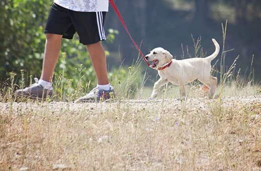 A man walks a yellow lab puppy while he tries to chew on the red leash.