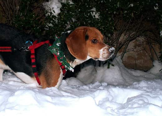 Beagle in the snow at night in a red harness.