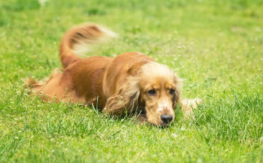 Cocker spaniel laying in the grass and wagging his tail
