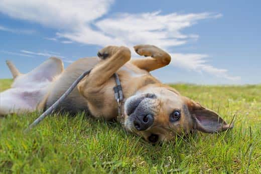Adorable mixed breed German shepherd dog rolling in the grass under blue sky
