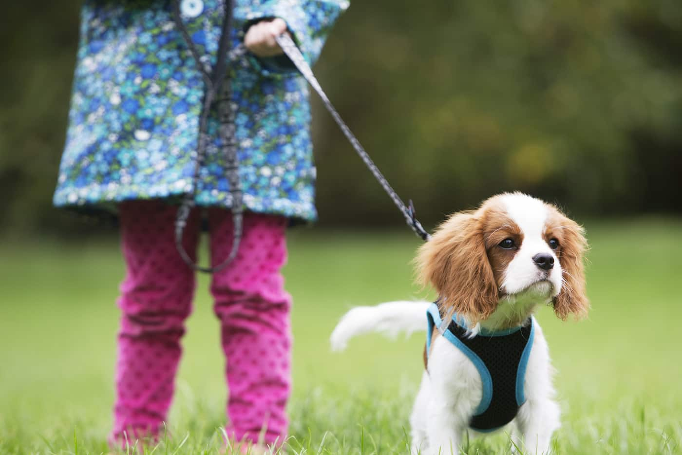 Little girl in pink pants walking a Cavalier King Charles puppy outside