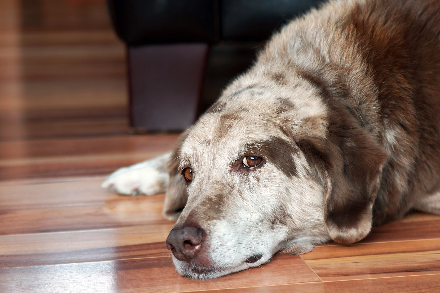 Older dog lying on wood floor.