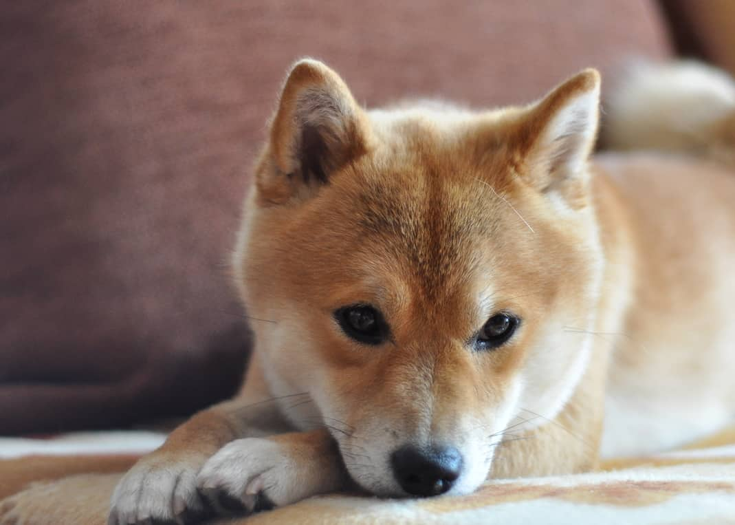 Shiba Inu puppy resting on couch