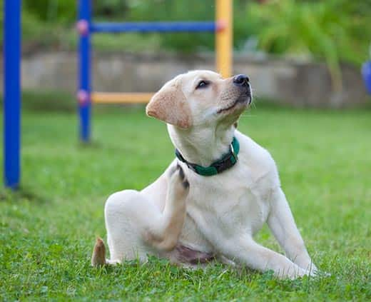 Yellow lab puppy in green collar, scratches neck near playground outdoors.