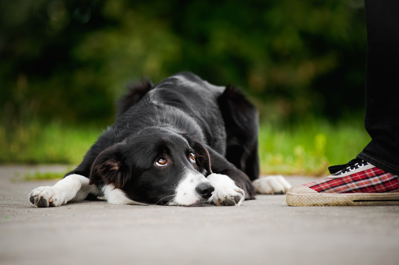 Black and white border collie looking up feeling ashamed while lying next to person's foot.
