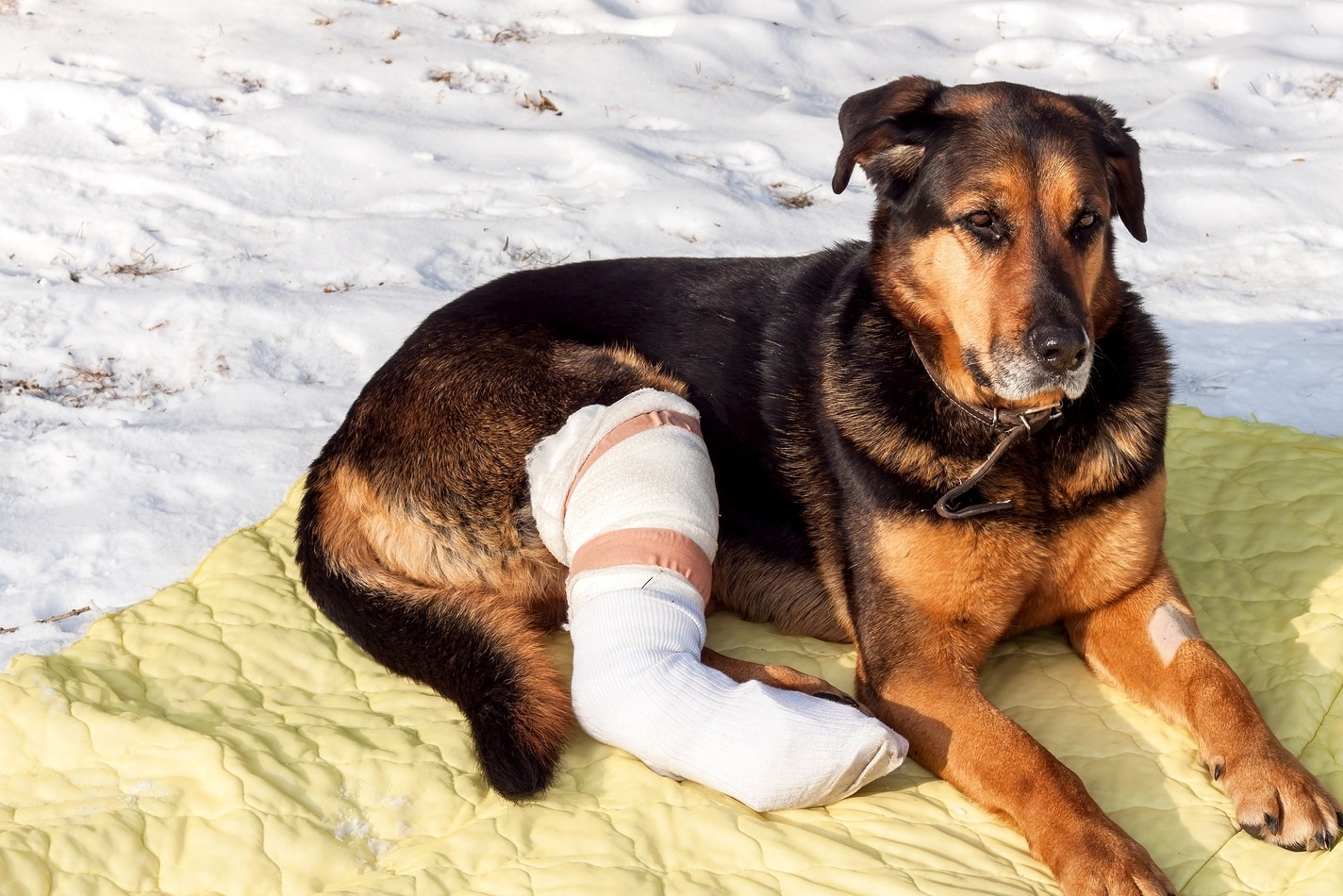 Dog with broken leg in a cast lies on a yellow blanket in the snow.