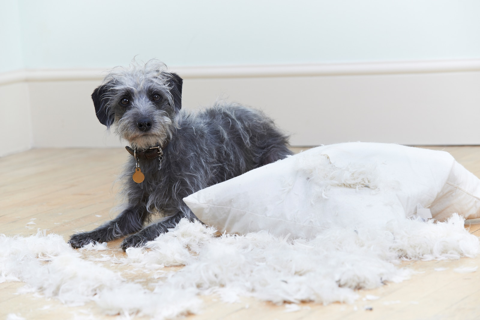 Scruffy gray dog next to a pillow with fluff coming out of it.