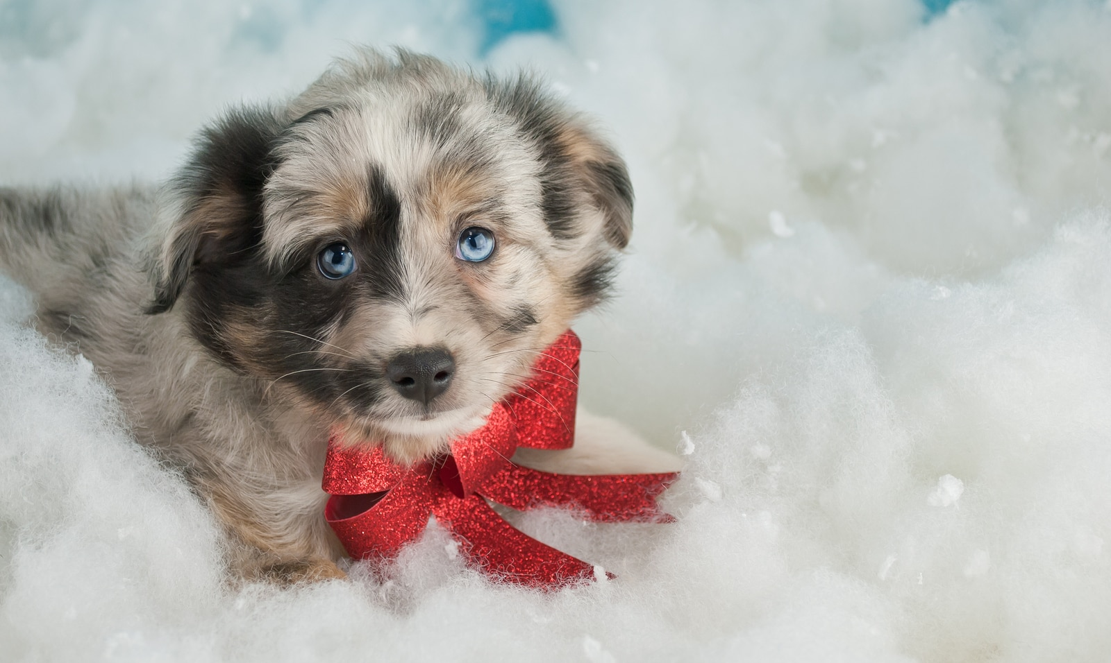 Sweet little Australian Shepherd puppy laying in the snow wearing a red Christmas bow.