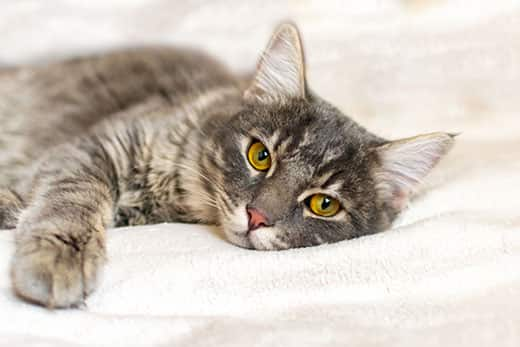Gray cat with yellow eyes lays on a white blanket in human bed.
