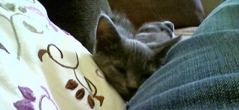 gray kitten snuggling with pet parent on the couch