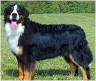 Bernese Mountain Dog Breed Facts And Traits Hill S Pet