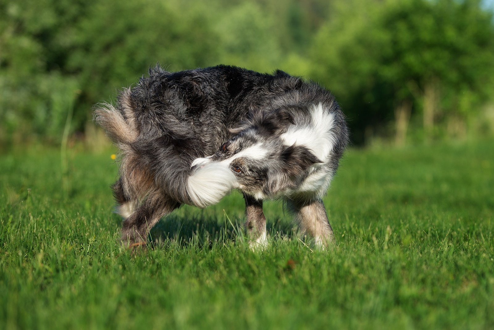 Gray and white long-haired dog catches his tail running in a circle.