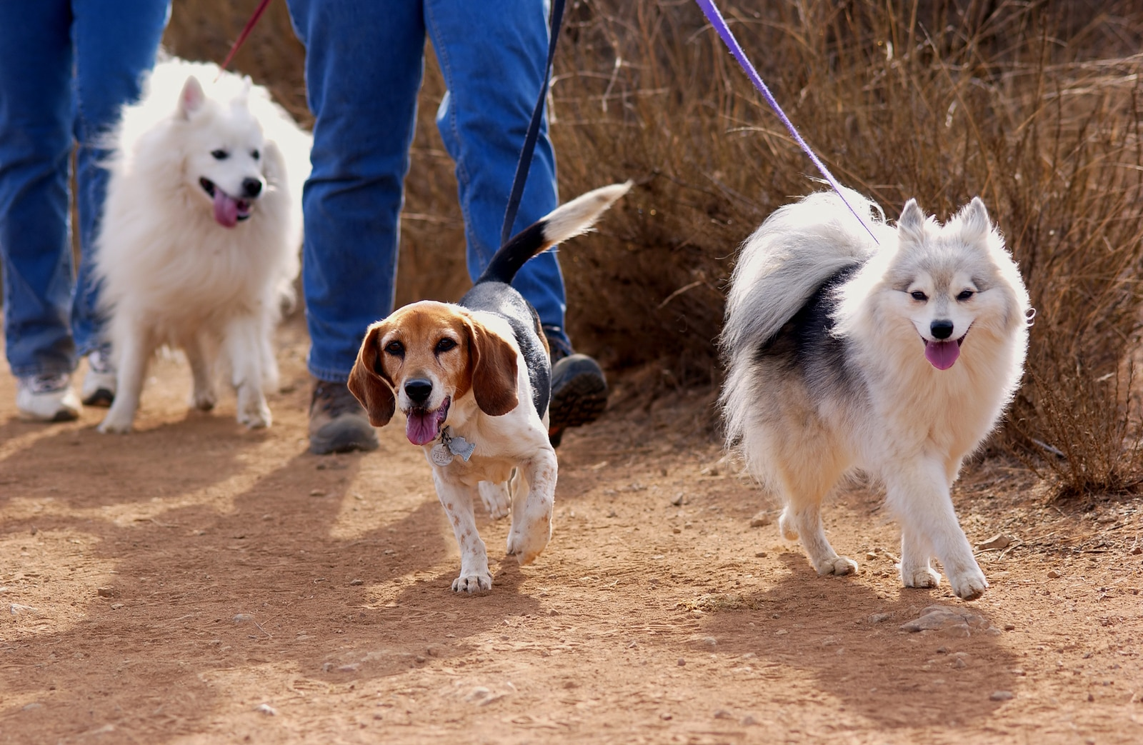 Two fluffy white doges and beagle being walked by two people on a dirt road.